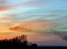 starlings flying across the sky at sunset